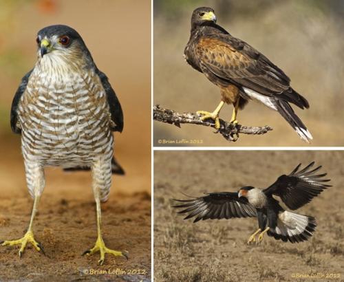 RGV Bird WS