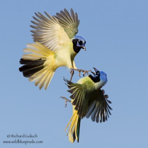 Goluch Jays