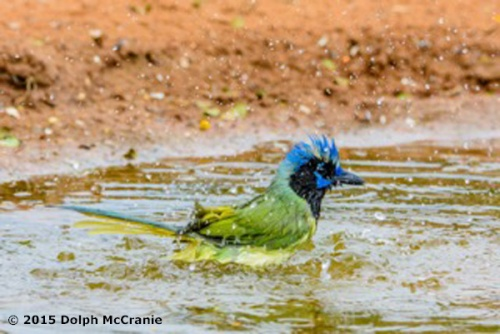 Green Jay Bathing