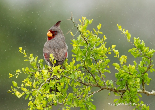 Pyrrhuloxia-in-the-Rain---Mailable