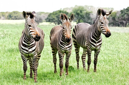 Three Zebra-1797-Sm