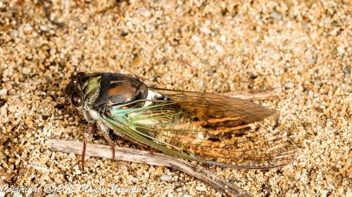 _MG_9756-cicada.blanco