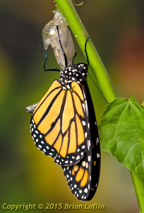 Monarcg butterfly emerging from its chrysalis.