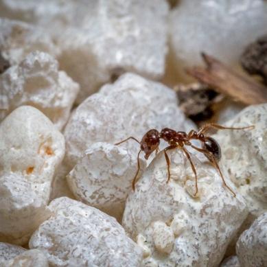 DBS - Fire Ant 2