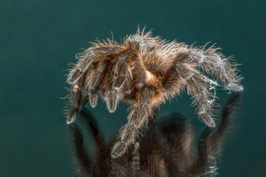 DBS-Peekaboo Terantula