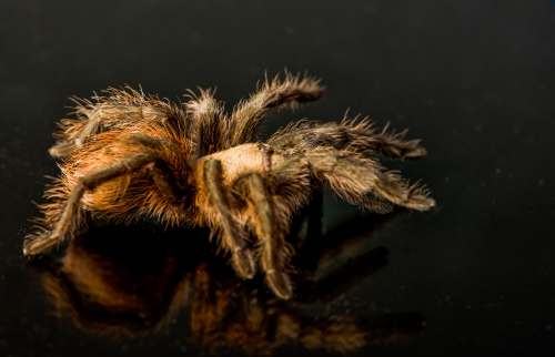 Tarantula-MedREZ-5118