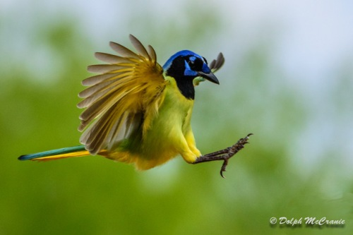 Green Jay-19-Edit