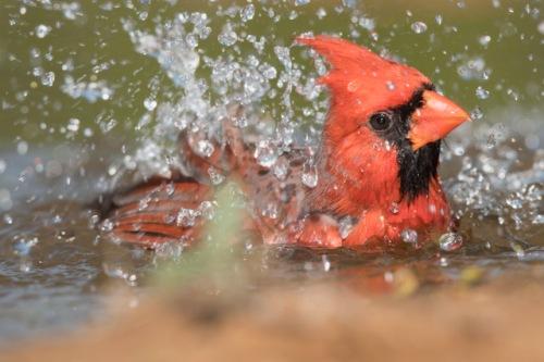Laguna Seca_Cardinal_bath time