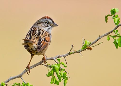 sparrow on branch 5x7