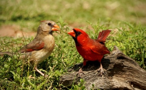 Cardinal Pair- Cathey